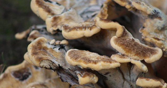 медицинские грибы в борьбе против рака